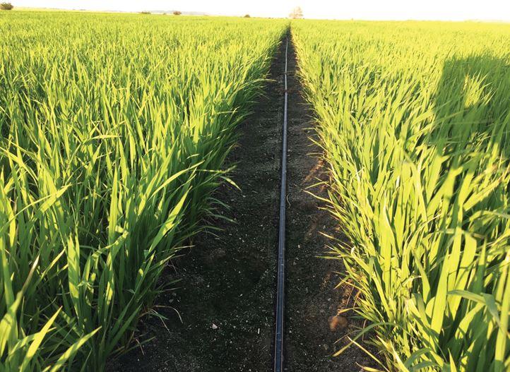 آبیاری قطره ای برنج